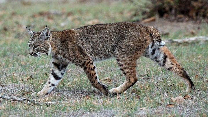 urbanization can influence the population characteristics and interspecific interactions of bobcat and mountain lions