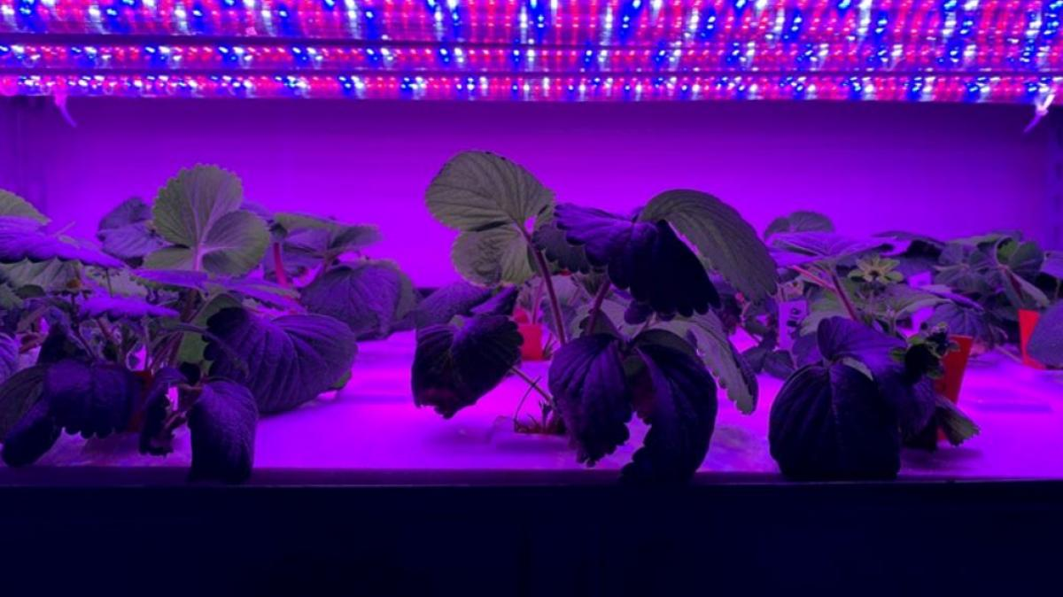 ASU professor Yujin Park's plants under lights at ASU Polytechnic campus