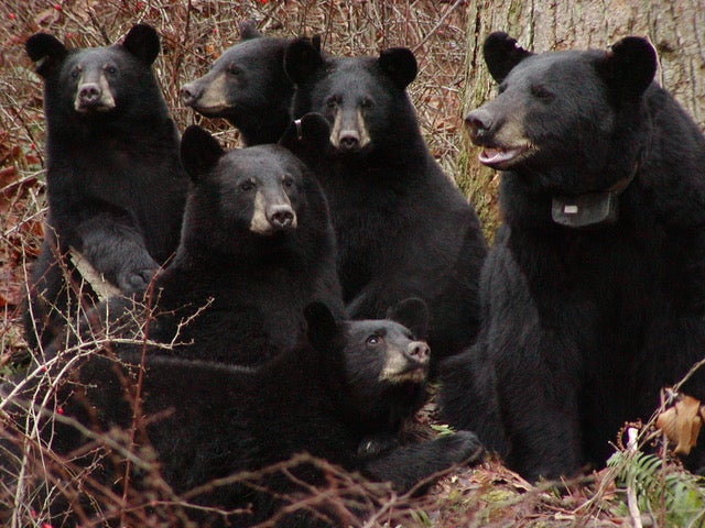 Ecology of American black bear populations focus of ASU lecture