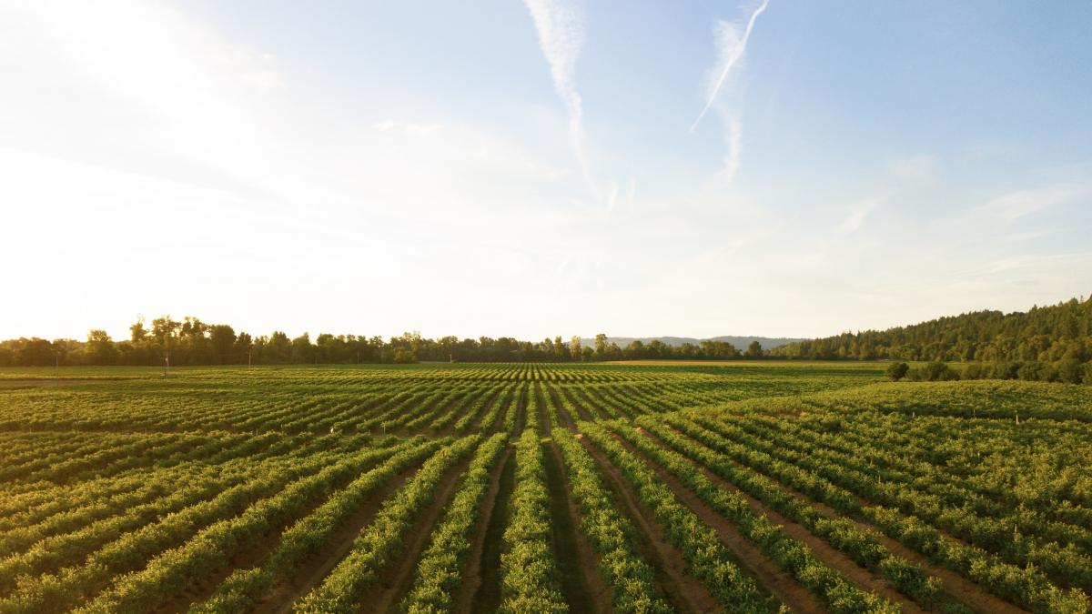 agricultural field with rows of crops